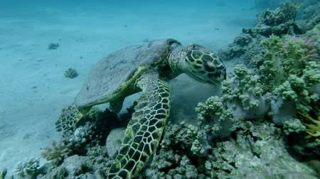 barışçı : Slow motion, Sea Turtle sits on a coral reef and eats soft coral. Hawksbill Sea Turtle or Bissa (Eretmochelys imbricata) Underwater shot, Top view, Closeup. Red Sea, Abu Dabab, Marsa Alam, Egypt, Africa
