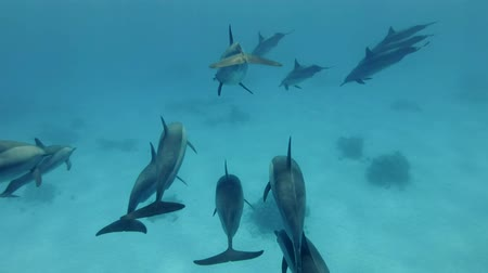 Two small groups of dolphins in one pod. Spinner dolphins (Stenella longirostris), Underwater shot, follow shot, escort. Red Sea, Sataya Reef (Dolphin House) Marsa Alam, Egypt, Africa Стоковые видеозаписи