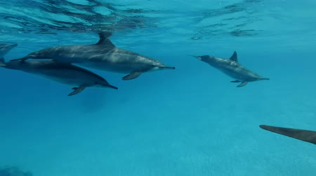 Family of dolphins alongside slowly swim under the blue water. Slow motion, Closeup, Underwater shot. Spinner Dolphin (Stenella longirostris) in Red Sea, Sataya Reef (Dolphin House) Marsa Alam, Egypt, Africa