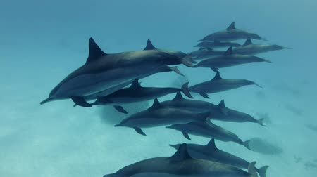dolphin : Massive group of dolphins slowly smilin in the blue water over sandy bottom. Spinner Dolphin (Stenella longirostris), Underwater shot, Closeup. Red Sea, Sataya Reef (Dolphin House) Marsa Alam, Egypt, Africa