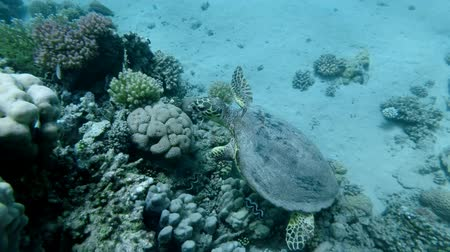 Slow motion, Sea Turtle slowly swim near top coral reef under surface of water. Hawksbill Sea Turtle or Bissa (Eretmochelys imbricata) Underwater shot, Top view. Red Sea, Abu Dabab, Marsa Alam, Egypt, Africa Vidéos Libres De Droits