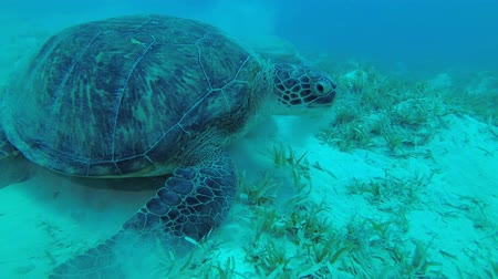 Slow motion - green sea grass. Green Sea Turtle - Chelonia mydas, Close up, Underwater shots
