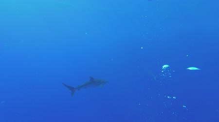 Silky shark - Carcharhinus falciformis swim in the blue water backgrond. Underwater shots