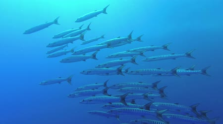 szczupak : School of Barracudas swim in the blue water background. Blackfin barracuda - Sphyraena jelio, Underwater shots
