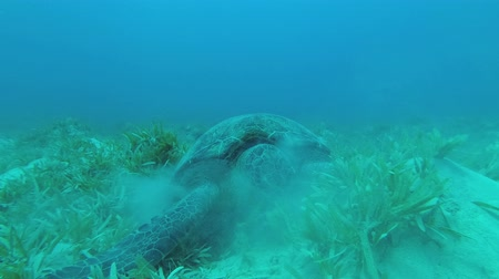 reen : Sea turtle lies on the sandy bottom. Green Sea Turtle - Chelonia mydas, Underwater shots Stock Footage