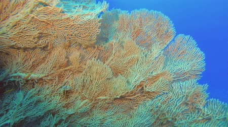 фэн : Slow motion - large Sea fan soft coral. Soft coral Giant Gorgonian or Sea fan - Subergorgia mollis