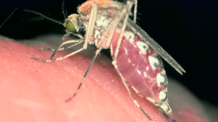 emmek : Mosquito drinks blood. Northern house mosquito or Common house mosquito (Culex pipiens), Extreme close up shot Stok Video