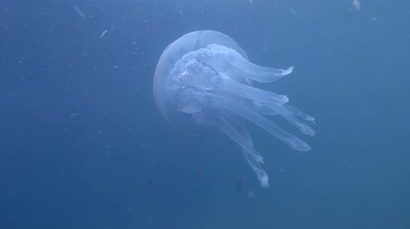 rhizostoma : Barrel jellyfish (Rhizostoma pulmo) swim in the blue water. Underwater shot, close-up Stock Footage