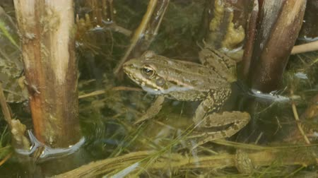 kurbağa : Close up of Frog In the water. Green frog sitting in a swamp Stok Video