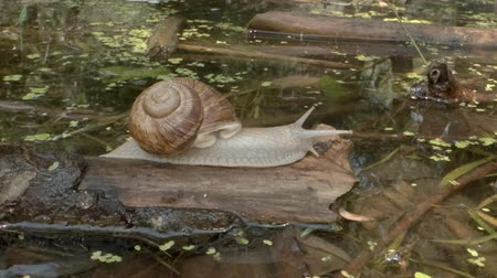 terrestre : snail crawling over a lake background. Grape snail in the natural habitat. Close-up Stock Footage