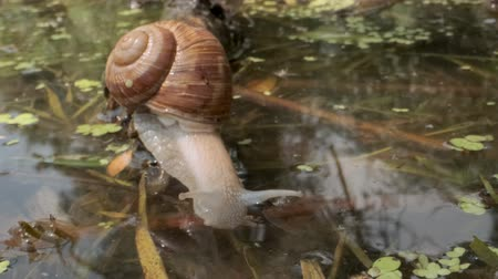 закалки : Snail eagerly drinks underwater. Grape snail in the natural habitat. Close-up