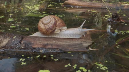 terrestre : Snail crawls water. Grape snail in the natural habitat. Close-up Stock Footage