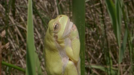 sedí : Close up of a tree frog sitting on a green stalk on a reed background. European tree frog (Hyla arborea, Rana arborea) in the natural habitat. Dostupné videozáznamy
