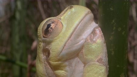 extreme close up : Portrait of Tree frog sitting on a green stalk on a reed background. Extreme close up. European tree frog (Hyla arborea, Rana arborea) in the natural habitat. Stock Footage