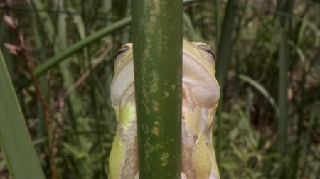 kurbağa : Portrait of Tree frog stemming on a reed background. Extreme close up. European tree frog (Hyla arborea, Rana arborea) in the natural habitat. Stok Video