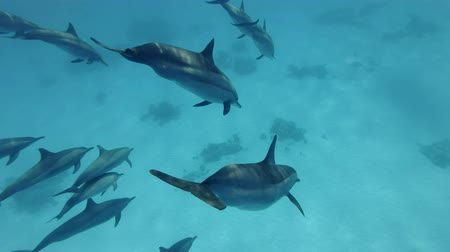 стручок : Close-up, A pod of dolphins from the water in depth to the blue water. Spinner dolphins (Stenella longirostris), Underwater shot, follow shot. Red Sea, Sataya Reef (Dolphin House) Marsa Alam, Egypt, Africa