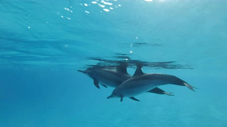 delfín : Family of dolphins, mother and baby in the morning sun rays. Spinner Dolphin (Stenella longirostris), Underwater shot, Closeup. Red Sea, Sataya Reef (Dolphin House) Marsa Alam, Egypt, Africa