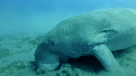 Slow motion, Portrait of the Sea Cow (Dugong dugon), Gnathanodon speciosus. Underwater shot, Closeup. Red Sea, Hermes Bay, Abu Dabab, Marsa Alam, Egypt Vidéos Libres De Droits