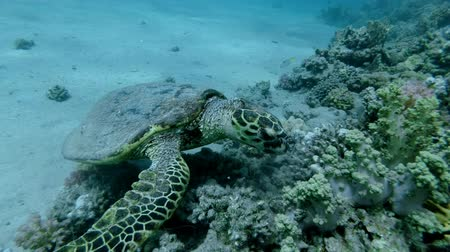 mastigação : Slow motion, Sea Turtle sits on a coral reef and chews soft coral. Hawksbill Sea Turtle or Bissa (Eretmochelys imbricata) Underwater shot, Closeup. Red Sea, Abu Dabab, Marsa Alam, Egypt, Africa