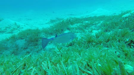 coffer : Boxfish feeds on the sea bottom covered with green seagrass. Yellow Boxfish - Ostracion cubicus, Underwater shots