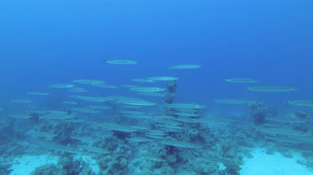szczupak : Slow motion - School of Barracudas slowly swim over the coral reef in the blue water background. Blackfin barracuda - Sphyraena jelio, Underwater shots