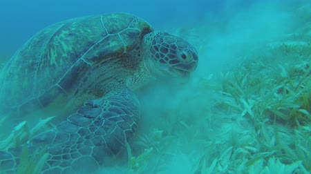 algas : Close up of Sea Turtle eats green seagrass. Green Sea Turtle - Chelonia mydas, Underwater shots