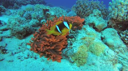 Anemonefish in red actinia. Red Sea Anemonefish or Threebanded Anemonefish - Amphiprion bicinctus and the magnificent sea anemone - Heteractis magnifica, Underwater shots