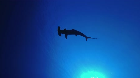 опасность : Shark siluet swim slowly in the low-angle shot. Scalloped hammerhead or Hammerhead shark - Sphyrna lewini, Backlight, Underwater shots