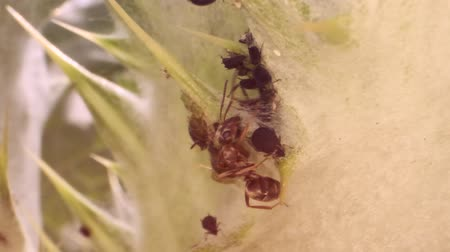 ant : Red barbed ant thistle milking aphids on a sheet of spear. Slow motion. Macro 1: 1. Stock Footage