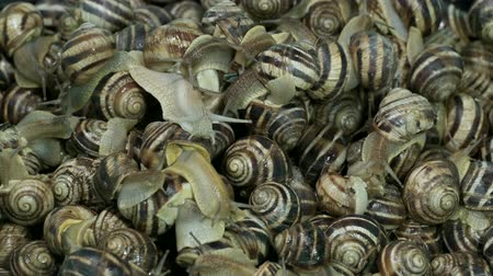 caracol : Many food snails. Background of live snails. Top view? 4K  60fps