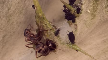 ant : Red barbed ant thistle milking aphids on a sheet of spear. Super macro 2: 1. 4K  60fps Stock Footage