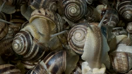 magas szög : A group of food snails. Background of live wet snails. Extreme close up, macro 1: 1. Top view? 4K  60fps