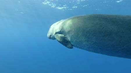 mammalia : Sea Cow (Dugong dugon) sleeps and swim slowly under the blue water. Underwater shot, Closeup. Red Sea, Hermes Bay, Abu Dabab, Marsa Alam, Egypt Stock Footage