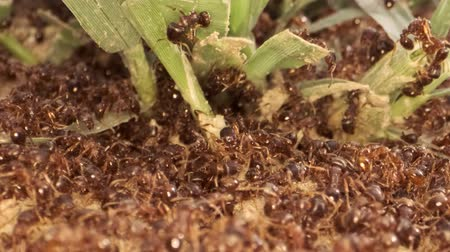 stapelen : War in the colony of European fire ant. Super macro 2: 1, 4K  60fps Stockvideo