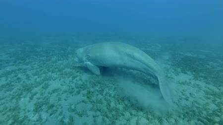 mammalia : Sea Cow lies away from the sea. Dugong or Sea Cow (Dugong dugon), Underwater shot. Red Sea, Hermes Bay, Abu Dabab, Marsa Alam, Egypt