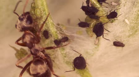 milking : Red barbed ant thistle milking aphids on a sheet of spear. Slow motion. Super macro 3: 1.