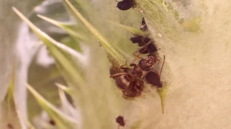 aphidoidea : Red barbed ant thistle milking aphids on a sheet of spear. Slow motion. Macro 1: 1. Stock Footage