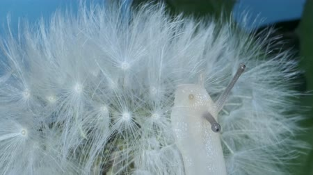 caracol : Close-up of little snail sits on a dandelion seedhead and eats fluff. Macro shots, 4K - 50fps Stock Footage