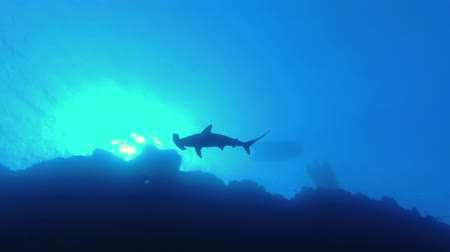 hammerhead : Shark siluet swim slowly in the low-angle shot. Scalloped hammerhead or Hammerhead shark - Sphyrna lewini, Backlight, Underwater shots