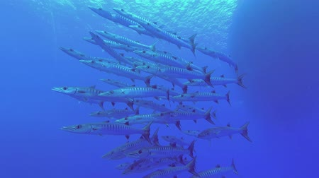szczupak : School of Barracudas swim in the water on a diving boat background. Blackfin barracuda - Sphyraena jelio, Underwater shots Wideo