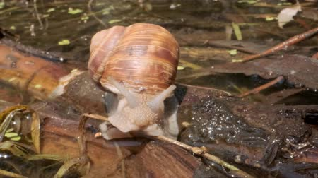 terrestre : Snail crawling on a lake background. Grape snail in the natural habitat. Close-up