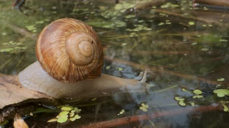 terrestre : Snail eagerly drinks underwater. Grape snail in the natural habitat. Close-up