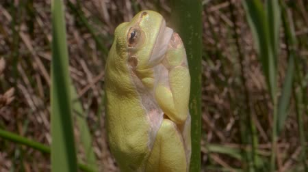 rana : Close up of a tree frog sitting on a green stalk on a reed background. European tree frog (Hyla arborea, Rana arborea) in the natural habitat. Stock Footage