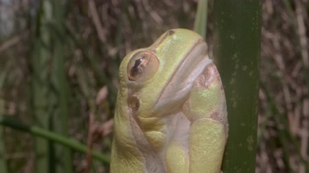 rana : Portrait of Tree frog sitting on a green stalk on a reed background. Extreme close up. European tree frog (Hyla arborea, Rana arborea) in the natural habitat. Stock Footage