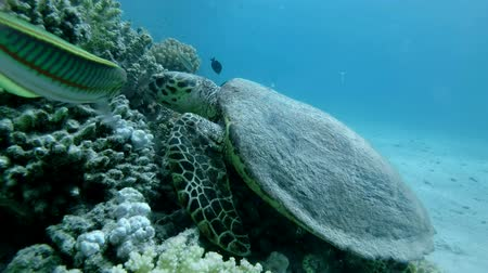 zeeschildpad : Slow motion, Sea Turtle sits on a coral reef and eats soft coral. Hawksbill Sea Turtle or Bissa (Eretmochelys imbricata) Underwater shot, Top view, Closeup. Red Sea, Abu Dabab, Marsa Alam, Egypt, Africa