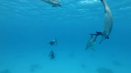 presente : Group of juvenile dolphins playing under surface in blue water. Slow motion, Underwater shot. Red Sea, Sataya Reef (Dolphin House) Marsa Alam, Egypt, Africa Stock Footage