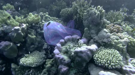 oceanos : Slow motion, Blue plastic bag swims near beautiful coral reef, a school of fish swims nearby. Plastic pollution of the oceans. Plastic garbage environmental pollution problem