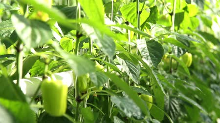 hacienda : Green peppers in the greenhouse. Stock Footage