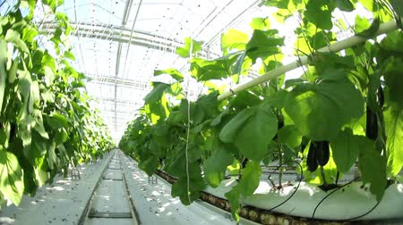 вегетарианство : The movement in the solar greenhouse.Growing eggplant. Стоковые видеозаписи
