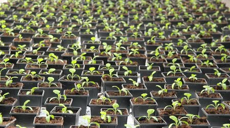 hacienda : Seedlings of peppers in the greenhouse.